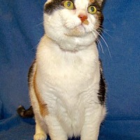 Adopt A Pet :: Callie - Colorado Springs, CO