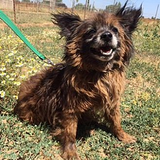 Pomeranian/Terrier (Unknown Type, Small) Mix Dog for adoption in Elk Grove, California - TAKHI