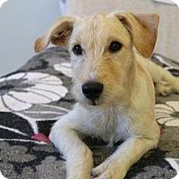 Adopt A Pet :: 'SHORTCAKE' - Agoura Hills, CA