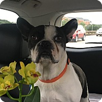 Boston Terrier/French Bulldog Mix Dog for adoption in Courtland, Alabama - Monte