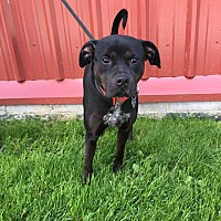 Adopt A Pet :: Chase - Downingtown, PA