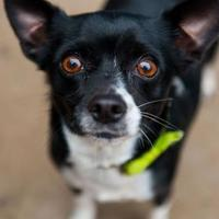 Adopt A Pet :: Bell - Eugene, OR