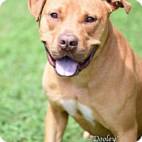 Adopt A Pet :: Dooley - Newnan City, GA
