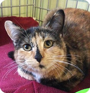 Domestic Shorthair Cat for adoption in Breinigsville, Pennsylvania - Hope