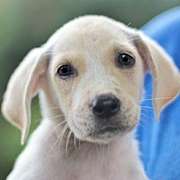 Adopt A Pet :: PUPPY PIPER - richmond, VA