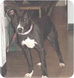 American Pit Bull Terrier/Terrier (Unknown Type, Medium) Mix Dog for adoption in Austin, Minnesota - Molly