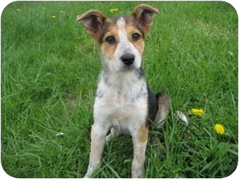Collie/Australian Cattle Dog Mix Puppy for adoption in Logan, Ohio - Lily