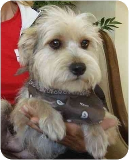 Wirehaired Fox Terrier Mix Dog for adoption in Coral Springs, Florida - Anna