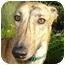 Photo 3 - Greyhound Mix Dog for adoption in Wayne, Michigan - Elmo
