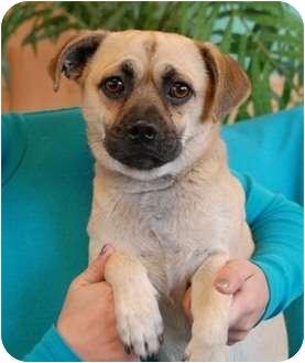 Pug Mix Dog for adoption in Las Vegas, Nevada - Chato