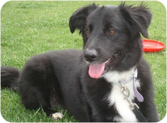 Border Collie Mix Dog for adoption in San Pedro, California - SAGE