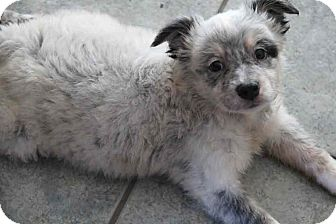Border Collie/Australian Shepherd Mix Puppy for adoption in Yuba City, California - Rainbow