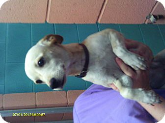 Chihuahua Mix Dog for adoption in Niceville, Florida - Pica