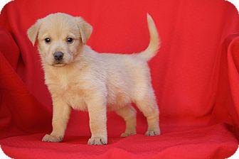 Sheltie, Shetland Sheepdog/Labrador Retriever Mix Puppy for adoption in West Milford, New Jersey - VERSE-pending