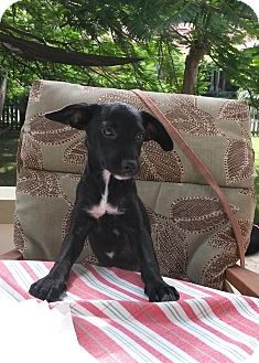 Spaniel (Unknown Type)/Terrier (Unknown Type, Small) Mix Puppy for adoption in Brooklyn, New York - Awesome Allison