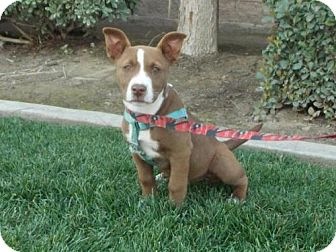 American Staffordshire Terrier Mix Dog for adoption in Bakersfield, California - Saffron