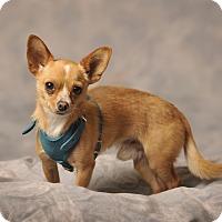 Chihuahua Mix Dog for adoption in Aqua Dulce, California - Tate