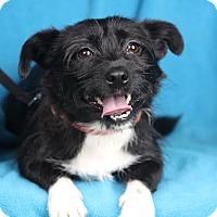 Adopt A Pet :: Milou - Minneapolis, MN