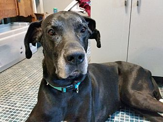 Great Dane Dog for adoption in Broomfield, Colorado - Dan