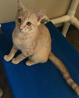 Domestic Mediumhair Cat for adoption in Lander, Wyoming - Juan