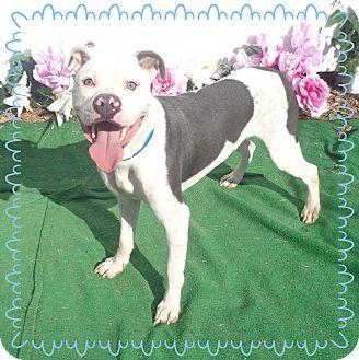 Pit Bull Terrier Mix Dog for adoption in Marietta, Georgia - KILO