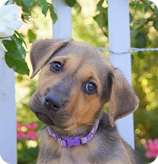 German Shepherd Dog Mix Puppy for adoption in Thousand Oaks, California - Elle von Portia