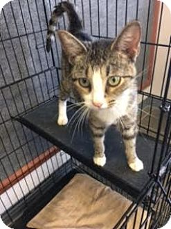 Domestic Shorthair Cat for adoption in Branson, Missouri - Pickles