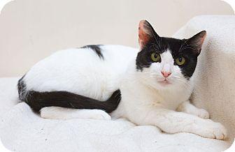 Domestic Shorthair Cat for adoption in Northbridge, Massachusetts - Bella