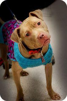 Pit Bull Terrier Mix Dog for adoption in Toledo, Ohio - Honey