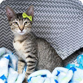 Domestic Shorthair Kitten for adoption in Montclair, California - Caesar