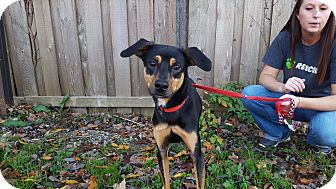 Black and Tan Coonhound Mix Dog for adoption in Frankfort, Illinois - Judah