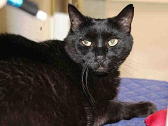 Domestic Mediumhair Cat for adoption in Hampton Bays, New York - DAHLIA