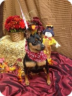Miniature Pinscher Dog for adoption in House Springs, Missouri - Roxy