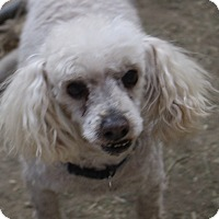 Poodle (Miniature) Mix Dog for adoption in Tucson, Arizona - Jack