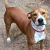 Labrador Retriever/American Staffordshire Terrier Mix Dog for adoption in Sunbury, Ohio - Bayou Bonnie