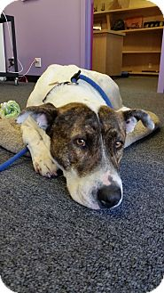 Pointer/American Staffordshire Terrier Mix Dog for adoption in Redondo Beach, California - JOILEE