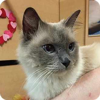 Domestic Mediumhair Cat for adoption in Independence, Missouri - Gio