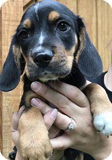 Border Collie/Australian Cattle Dog Mix Puppy for adoption in Blossvale, New York - Honzel (Danielle-Camden)