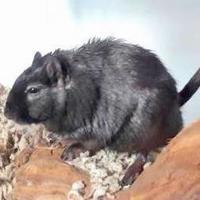 Adopt A Pet :: Chomper - Seattle, WA