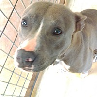 Pit Bull Terrier Mix Puppy for adoption in Austin, Texas - Ginger