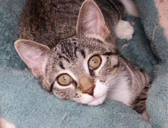 Domestic Shorthair/Domestic Shorthair Mix Cat for adoption in Evans, Colorado - Tansy