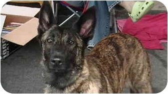 Dutch Shepherd Dog for adoption in Jamestown, California - Tigger