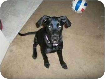 Labrador Retriever Mix Puppy for adoption in Haughton, Louisiana - Harley