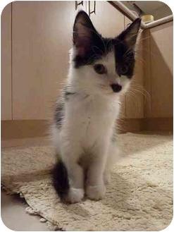 Domestic Shorthair Kitten for adoption in Toronto, Ontario - Lola
