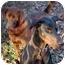 Photo 4 - Doberman Pinscher Dog for adoption in Greensboro, North Carolina - Hilton(Duke)