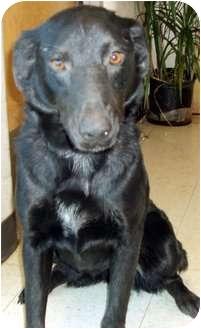 Labrador Retriever Mix Dog for adoption in Buffalo, New York - Lizzy