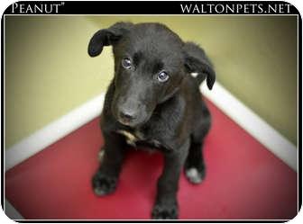 Labrador Retriever Mix Puppy for adoption in Monroe, Georgia - Peanut