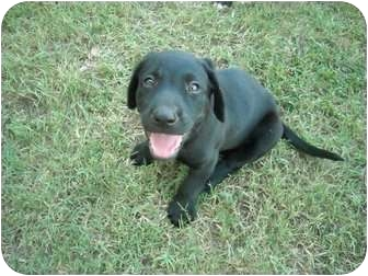 Labrador Retriever Mix Puppy for adoption in Conway, New Hampshire - Rigsby