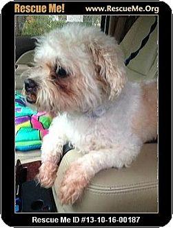 Shih Tzu/Poodle (Miniature) Mix Dog for adoption in Boulder, Colorado - Chaz
