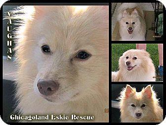 Pomeranian/American Eskimo Dog Mix Dog for adoption in Elmhurst, Illinois - Vaughan